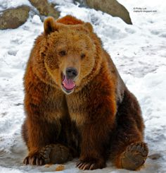 Happy grizzly bear - Google Search