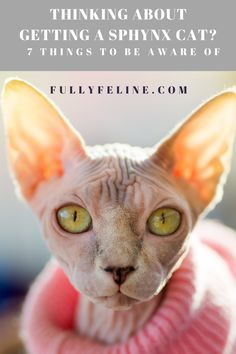 Sphynx cats rock! They do require specific care, though. Learn the specifics of sphynx cat guardianship by clicking here