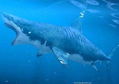 Carcharodon megalodon : le requin Mégalodon disparu