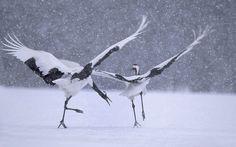 Dos grullas comunes bajo la nieve invernal en Japon (Vincent Munier, 2013)
