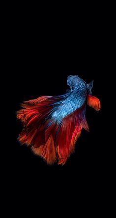 317 Best Bettas On Black Images Betta Siamese Fighting Fish
