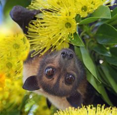 Spectacled flying fox (Pteropus conspicillatus) Sometimes a new angle helps us see things in a whole new light!