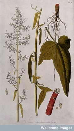 Spanish rhubarb dock (Rumex abyssinicus Jacq.): two sections