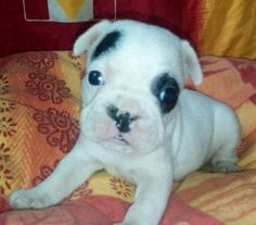 Französische Bulldoggen Welpen in Bayern - Straubing | Doggen und Doggenwelpen kaufen | eBay Kleinanzeigen