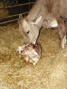 Newborn Brown Swiss calf with attentive mother.