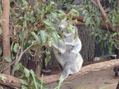 No barriers at Lone Pine Sanctuary for Koala exhibits.