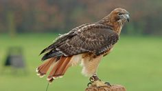 How do red-tailed hawks build their nests? | Reference.com
