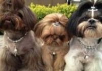 Shih Tzu Frisuren Awesome 82 Best Shih Tzu Grooming Hairstyles Images In 2019 Shih Tzu, Best Resolution, Hair Images, Photo Galleries, Hairstyles, Awesome, Haircuts With Bangs, Medium Length Hairs, Hairdos