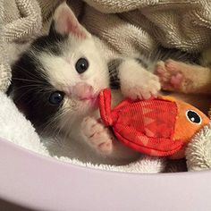 It gives me enormous pleasure to introduce you all to today's Star Kit, Pocky. She is 1 month old from Fussa, Japan. She was found in a waste facility and taken to the Cat Cafe in Fussa. The owner of the cafe was looking for a home for her soContinue Reading