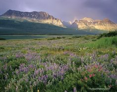 Wildflowers on display in the Many Glacier Valley of Glacier National Park. Chuck Haney