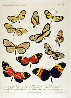 NovaraExpZoologischeTheilLepidopteraAtlasTaf45.jpg