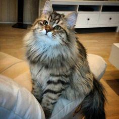 Siberian cat NOgrensedalen sibirkatt brun tabby