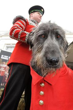 Image of the day: Irish Guards' mascot Domhnall wears sprig of shamrock Huge Dogs, Giant Dogs, Pet Dogs, Dogs And Puppies, Dog Cat, Doggies, Best Friends For Life, Mans Best Friend, Scottish Deerhound