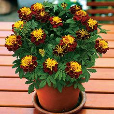Super Hero™ Spry Marigold Seeds from Park Seed Calendula, Garden Paths, Garden Art, Container Gardening, Gardening Tips, Marigolds In Garden, Seed Starter Kit, Annual Flowers, Warm Spring