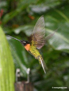Amazon rainforest photos: Collared Inca Hummingbird