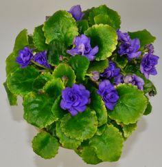 Moonlight Kisses African Violet Plant