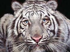 White Tiger - Animal Makeup