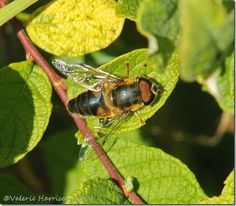 Eristalis pertinax Dumfries & Galloway ©Valerie Harrison