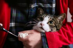 Most cats need to have their nails trimmed occasionally. Learn how to cut your cat& nails without hurting your cat or yourself in the process. Trim Cat Nails, Gatos Cat, Cat Makeup, Outdoor Cats, Cat Wallpaper, Cat Quotes, Cat Drawing, Cat Gif, Cats And Kittens