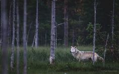 Female wolf on summer night - Pasi Kaunisto ( Flora And Fauna, Working Dogs, Summer Nights, Wolves, Finland, Wilderness, Hunting, Landscapes, Wildlife