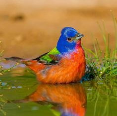 Pretty Birds, Love Birds, Beautiful Birds, Birds 2, Bunting Bird, Painted Bunting, Buntings, Audubon Society, Bird Gif