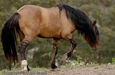 Mustang Horse | Love those tiger stripes!
