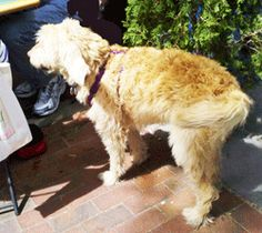 This labradoodle is a real sweetheart - see how his tail curls to the left? He's patiently waiting while his owners finish brunch.