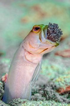 babysitting~ Yellowhead Jawfish - Little Cayman Island (this is a male, incubating eggs laid by the female)