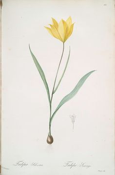Tulipa sauvage [Wild tulip; Woodland tulip] ~ Pierre Joseph Redouté, 1759-1840 ~ Artist   April 21st... and they beginning to bloom ...catch them ..a short springtime for them ...