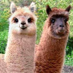 HAH! Llamas (: