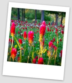 picture touched up in picasa photo software. Picture is of clover in our field.