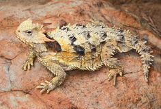 """Phrynosoma blainvillii; Coast Horned Lizard -- When you hear cowboys talking about """"horny toads"""", this is what they are talking about.  Not a toad at all, but a lizard.  I used to catch them as a kid."""