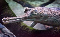 The gharial (Gavialis gangeticus), also known as the gavial, and the fish-eating crocodile, is a crocodilian of the family Gavialidae, native to the Indian Subcontinent.