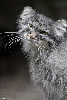 Manul The Manul is a small wild cat with a broad but fragmented distribution in the grasslands and montane steppes of Central Asia. Cute Cats And Kittens, Big Cats, Crazy Cats, Pretty Cats, Beautiful Cats, Animals Beautiful, Rare Animals, Animals And Pets, Felis Manul