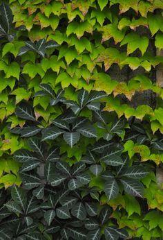 Parthenocissus hedera - Google zoeken