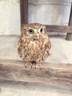 名前:フク<br> コキンメフクロウ。5歳くらい