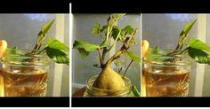 ¡NO LO TIRES! 10 restos de frutas y verduras que pueden volver a crecer en casa