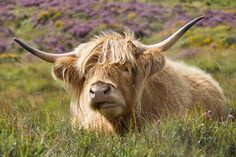 Hair, horns and heather: Reminiscence from August 2014 of a highland cow basking in the sun on Dartmoor in front of a hillside purple with blooming heather.