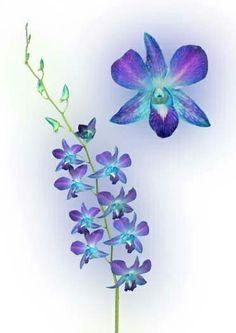 blue dendrobium orchid tattoo <3