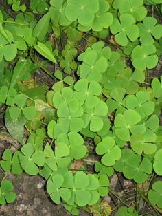 Marsilea crenata  is a species of fern found in Southeast Asia. It is an aquatic plant looking like a four leaf clover. Leaves floating in deep water or erect in shallow water or on land. Leaflets glaucous, sporocarp ellipsoid, on stalks attached to base of petioles.