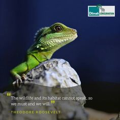 As the human population encroaches on natural resources, always remember that our planet is a shared habitat. It is a home to other plant and animal species. Protecting and conserving our shared habitat is our responsibility.  #Mondaymotivation #MotivationMonday #quotes #conservationeducation #conservationquotes #DilmahTea #DilmahConservation #LoversofLife #Conservation #wildlife #habitatconservation #habitats #respectnature #responsibility #lizardsofinstagram #lizard #TheodoreRoosevelt Conservative Quotes, Make Business, Theodore Roosevelt, Educational Programs, Animal Species, Human Services, Natural Resources, Monday Motivation, Conservation