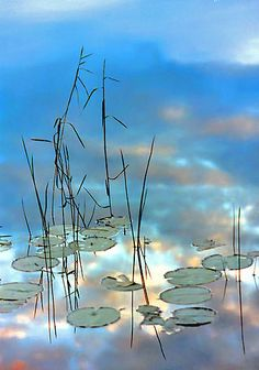Reeds and Pond Lillies