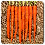 Organic Interceptor F1 Hybrid Carrot.