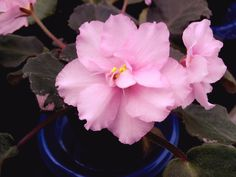 African Violet Leaves:  Pair of WRANGLER'S HEY DAY Leaves
