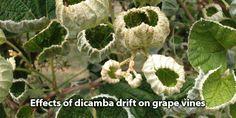 GMO Dicamba Herbicide Spreading to Non-GMO Crops