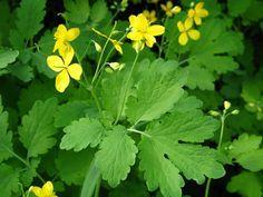 glistnik jaskolcze ziele Herbalism, Healing, Herbs, Garden, Food, Cookies, Diet, Health, Herbal Medicine