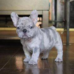 What Special markings ! Cute Little Puppies, Cute Little Animals, Cute Dogs And Puppies, Baby Puppies, Cute Funny Animals, Baby Dogs, Doggies, Cãezinhos Bulldog, French Bulldog Puppies