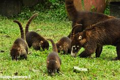 Costa Rica Nature Photography- coatis