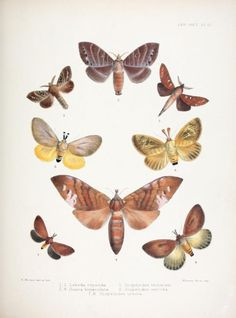 Lebeda, Suana, Scopelodes. Illustrations of typical specimens of Lepidoptera Heterocera in the collection of the British Museum v.6 London: Printed by order of the Trustees1879- Biodiversitylibrary. Biodivlibrary. BHL. Biodiversity Heritage Library