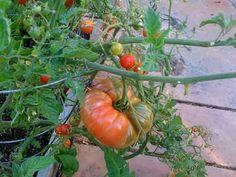 Monster Tomato Fertilizer Recipe 2-3 dozen crush egg shells 2 cups bone meal 1/2 cup Epsom salts 14 crushed aspirin (a natural rooting hormone!)